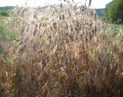 cheatgrass plants with black fungus instead of seeds