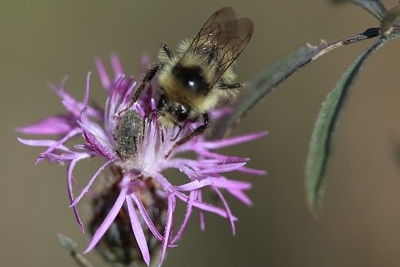 pollinator on spotted knapweed